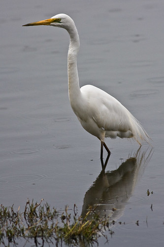 Intermediate or Great Egret?
