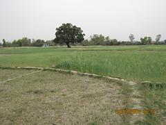 tripurari's village kamalkedia in green atire (tripurari shukla) Tags: gram mere barsana par apni hamesha hariyali gramwasiyon