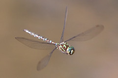Dragonfly in all of its glory (Dr. Ilia) Tags: ontario canada macro fall canon insect flying dragonfly september 70200 2009 soe richmondgreen richmondhill naturesfinest inthemood 50d supershot totalphoto mywinners abigfave anawesomeshot flickrdiamond frhwofavs theunforgettablepictures theperfectphotographer goldstaraward natureselegantshots spiritofphotography saariysqualitypictures