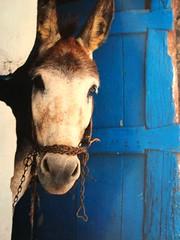 Curiosity shoot the donkey (V and the Bats) Tags: trip travel film animal fauna hellas greece scanning marcos analogic analogical ioannina ελλάδα ιωάννινα μάρκοσ γάιδαροσ greecethroughmyeyes thebatstravellingadventures travellingbats scannedphotofromoriginal curiosityshootthedonkey analogicalphotos