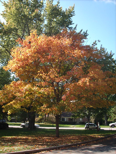 Orangish Autumn Tree