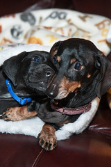Little Friends (awlyons) Tags: friends pets dogs animals tag3 taggedout tag2 tag1 dachshund