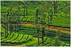 Life Lines ... .. (Naseer Ommer) Tags: india canon tea kerala plantation tamilnadu silveroak formations valpara naseerommer canoneos40d canon300mm