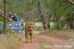 ADS_000005777 (dickysingh) Tags: travel wild india animal mammal outdoor wildlife tiger tourists bigcat aditya predator ranthambore singh ranthambhore dicky adityasingh ranthamborebagh theranthambhorebagh wwwranthambhorecom