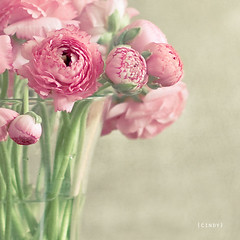 ({cindy}) Tags: pink flowers green glass ranunculus explore textures vase 365 flypaper 365days