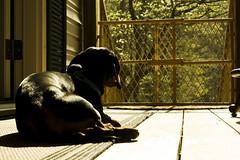 eddie and his baby gate (gone ape) Tags: dog black tree green leaves lines fence dof pov blackdog porch rug dachsund babygate weinerdog fencefriday