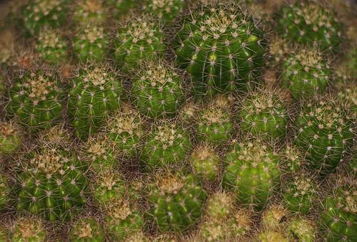 cactus (31/365 dps)