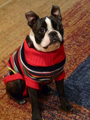dog pets puppy bostonterrier sweater humiliation dogsinclothes