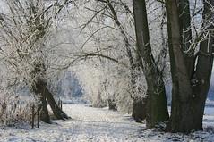 Snow (just.Luc) Tags: trees winter snow bomen hiver sneeuw arbres neige articulateimages aumilieudelhiverjaidécouvertenmoiuninvincibleété