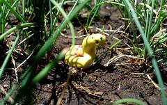 Al acecho (º-ºFabrica Mutanteº-º) Tags: chile naturaleza amarillo culebra mutante plasticina serpiente primmo acechoç