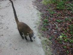 Guatemala, wasbeer