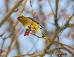 Waxwing Wind Tunnel Testing (Fort Photo) Tags: winter snow cold bird nature birds animal berry nikon colorado berries searchthebest fort wildlife birding fortcollins co collins ornithology 2009 waxwing cedarwaxwing avian mountainash larimer onblue d300 bombycillacedrorum passeriformes golddragon bombycillidae