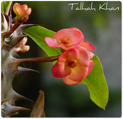 Euphoria (Talhah) Tags: pakistan flower cool euphoria lovely islamabad crownofthorns awesomeblossoms fz28