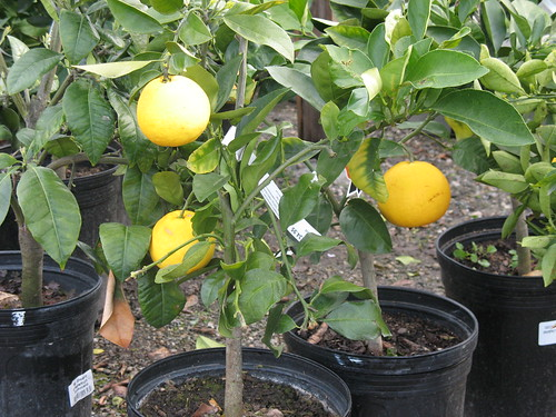 grapefruit tree sustainable growing