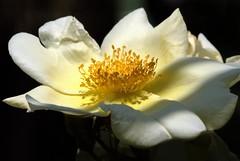 White rose (cienne45) Tags: flowers friends italy macro rose liguria cienne45 carlonatale genoa zena natale rosegarden soe nervi roseto xmp mywinners diamondclassphotographer rosetodinervi nervirosegarden