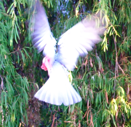 blurry galah