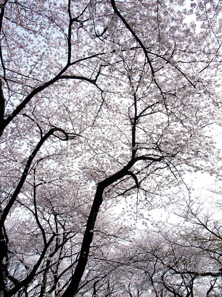 cherry blossom clouds