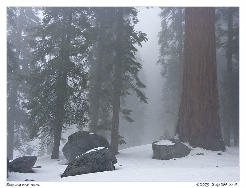 Sequoia and Rocks