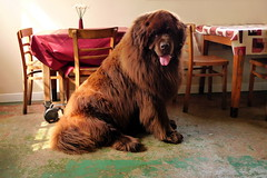 Wookie (harry harris) Tags: dog newfoundland cafe wookie enormousdog earlhamparkcafe