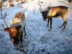 Kirkenes Reindeer Park Resort in Norway #8