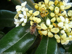 Bee on Pittosporum tobira (Cactus*Pixie - War is something I DESPISE -) Tags: flowers italy plant rome flower roma nature animal bug garden bush europa europe italia insects natura bee ape bouquet fiori shrub fiore piante api animali animale insetto giardino insetti pianta pittosporum cespuglio pittosporo pitosforo pittosporumtobira panasoniclumixdmctz3 wonderfulworldofflowers smallcreatureswilllovethisplace
