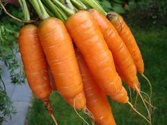Carrots / Wortels oogsten