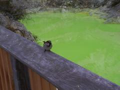 The Devils Bath, Wai-o-tapu, New Zealand (tixie21) Tags: newzealand green bird geology waiotapu devilsbath