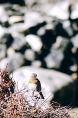 Chhukhung Bird