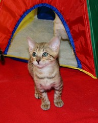 Tangie (Junglelure) Tags: blue red cats brown white west green girl cat asian eyes kitten aqua florida cinnamon central kittens spots leopard spotted marbled bengals f5 emerald bengal f4 snowleopard rosettes leopards snows breeder f7 f6 cattery tangie snowbengal rosetted seallynx sealmink sealsepia junglelure