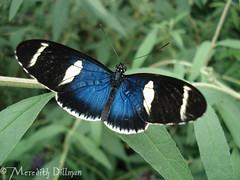 butterfly7