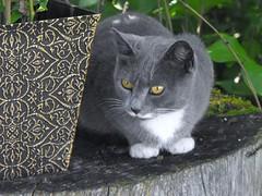 Sparkles (tricia_hall) Tags: sparkles cat graycat