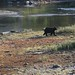 watching a black bear search for salmon