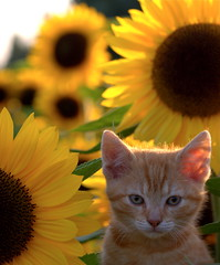 Red and Gold (edwindejongh) Tags: pictures red pets kitten sunflowers sunflower zonnebloemen bloemen redcat catportrait animalphotography katje hebbes superaplus aplusphoto edwindejongh sonyalpha700 meewarig fotografieedwindejongh catvertise sabinevanderhelm dierenmodellen animalmodellingcappcappdierenfotoscats