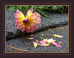 Down Time (Photographic Poetry) Tags: life dahlia flower nature death petal bloom urvision