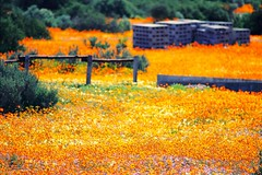 More Namaqualand Blooms VII