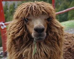 Peru-Cusco - Alpaca - Pony , 0139 (roba66) Tags: alpaca me peru animal fun cusco style inka lama tier artstyle anden südamerika alpaka qosqo beautifulphoto andenhochland worldtrekker saariysqualitypictures naturalezaenestadopuro inkahauptstadt quesqu exquisiteanimals