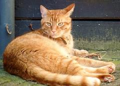 Broer a little bit lazy (Cajaflez) Tags: orange pet cat kat chat tabby katze gatto kater gati cc200 cc100 kittysuperstar kissablekat bestofcats velvetpaws natureselegantshots catmoments mallmixstaraward saariysqualitypictures boc0909