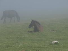 Poulain / Merens - Plateau de Beille (Micheval) Tags: horses horse caballo caballos libert t 2009 arige mrens troupeau estive plateaudebeille perlenoire paturages chevalmrens
