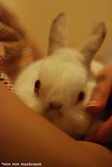 My lovely Dun Cu (*min min mushroom) Tags: pet bunny himalayan