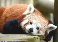 Rainy days and Mondays..... (law_keven) Tags: england animals furry firefox panda dof bokeh redpanda furryfriday essex colchester colchesterzoo explore500