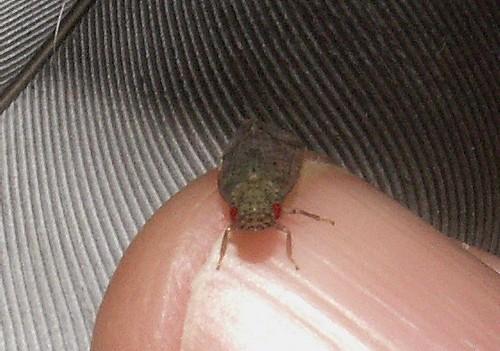 Cixiidae?