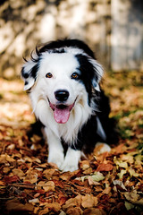 Good Morning! (Anda74) Tags: autumn fall colorado raw canonef50mmf18 explore bordercollie ouzo