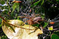 Funeling spider on guard! (ineedathis) Tags: autumn macro bug garden insect spider leaf bush sunny funnelwebspider
