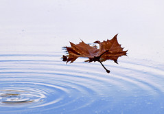 Fall into Blue (JacquiTnature) Tags: autumn sky reflection fall ripple westvirginia float shenandoahriver autumnleaf floatingleaf sycamoreleaf