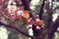 blossom (courtney  jade) Tags: pink flowers tree canon portland spring pretty blossom or cherryblossom pdx 2010 courtneyjade