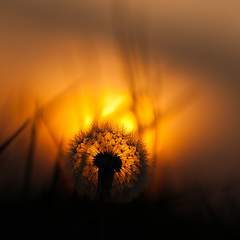 Through the light (alexbartok) Tags: flower macro closeup dandelion lwenzahn pusteblume taraxacumofficinale commondandelion geocity exif:focal_length=105mm exif:iso_speed=200 camera:make=nikoncorporation exif:make=nikoncorporation geostate geocountrys exif:lens=1050mmf28 camera:model=nikond300s exif:model=nikond300s exif:aperture=40