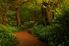 The Path to Fairytales (Wild Garlic Wood, Silverdale) (Steve Thompson images) Tags: wood trees woodland landscape path lancashire lancaster wildflowers silverdale ramsons wildgarlic morecambebay polarisingfilter canon1585
