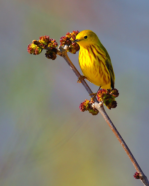 Horicon Yellow Warbler 2