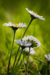 Gnseblmchen (Foto_Michel) Tags: light flower green germany deutschland licht bokeh wiese gelb daisy nrw grn lovely makro blatt blte holm gegenlicht stengel gtersloh glnseblmchen