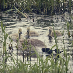stay behind me kids, ill protect you (Black Cat Photos) Tags: uk england cute bird water blackcat photography geese photo movement europe action performance move goose m gosling perform adourable blackcatphotos